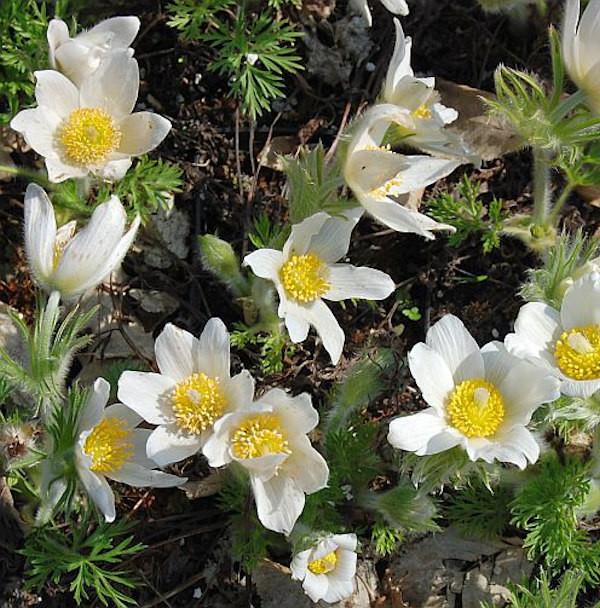 Küchenschelle Pinwheel Weiß - Pulsatilla vulgaris