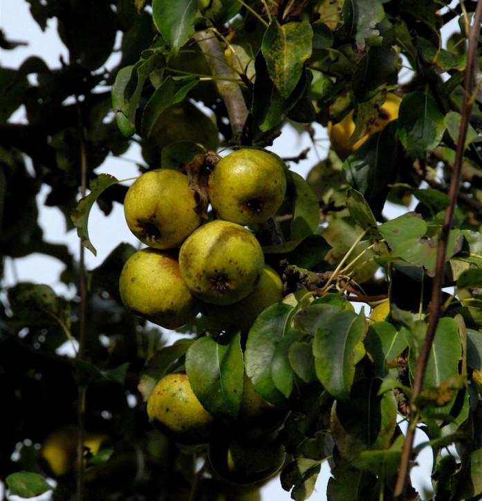 Birne Doppelte Philippsbirne 60-80cm - saftige und säuerliche Früchte