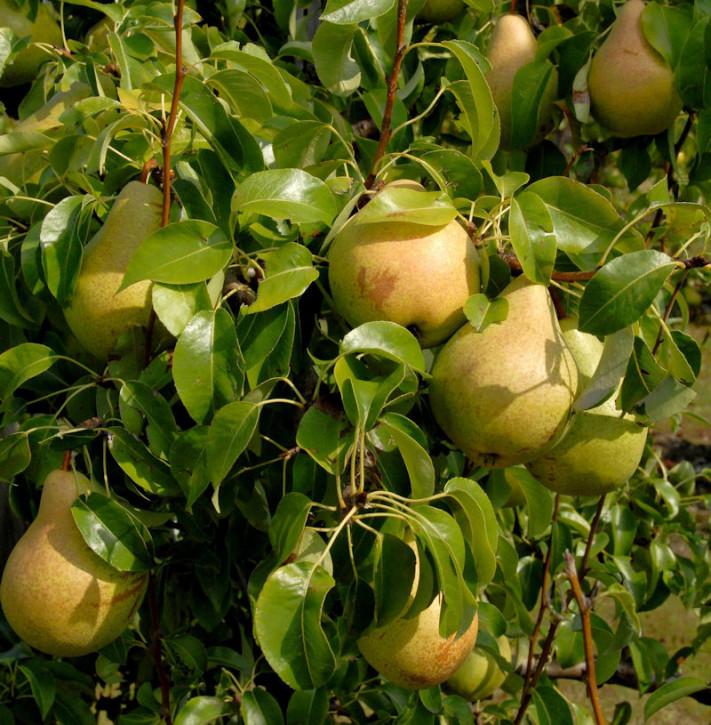 Birne Esperens Herrenbirne 60-80cm - aromatische und feinwürzige Früchte