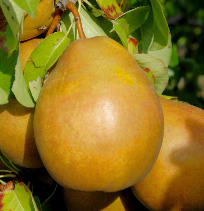 Birne Gellerts Butterbirne 60-80cm - aromatische und feinwürzige Früchte