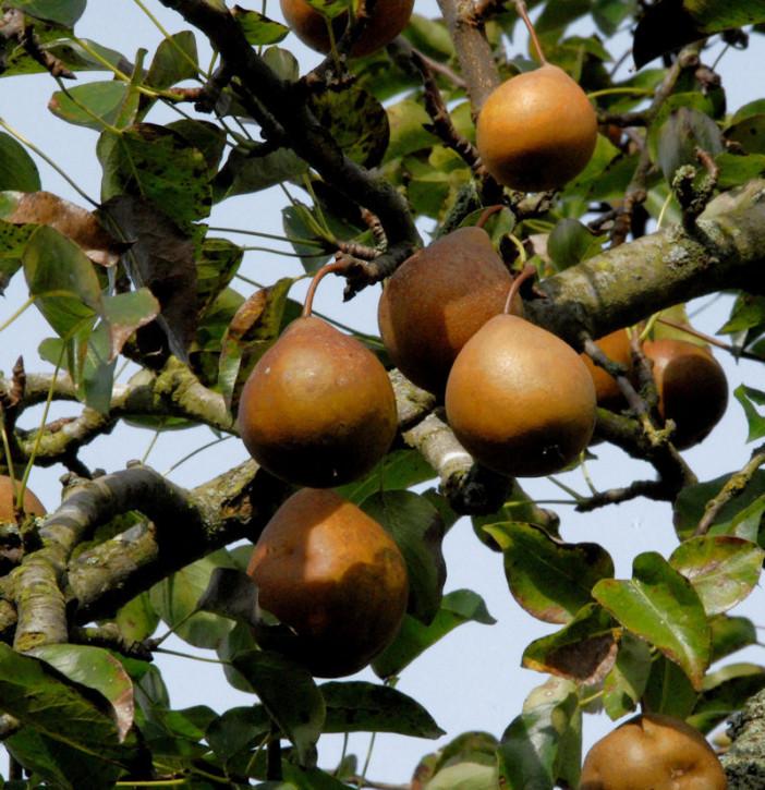 Birne Gute Graue 60-80cm - aromatische und teigige Früchte