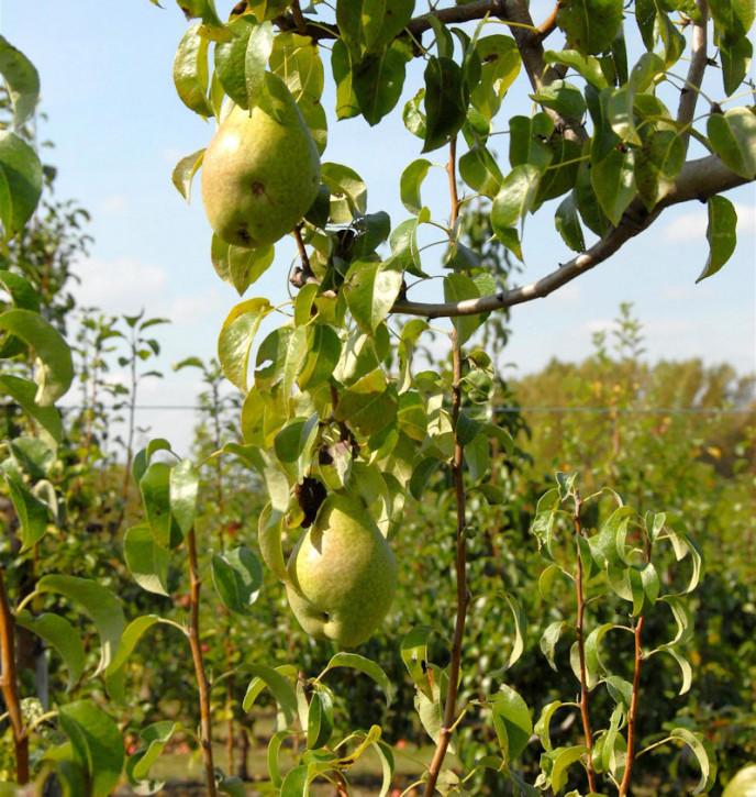 Birne Herzogin Elsa 60-80cm - feinwürzige und saftige Früchte