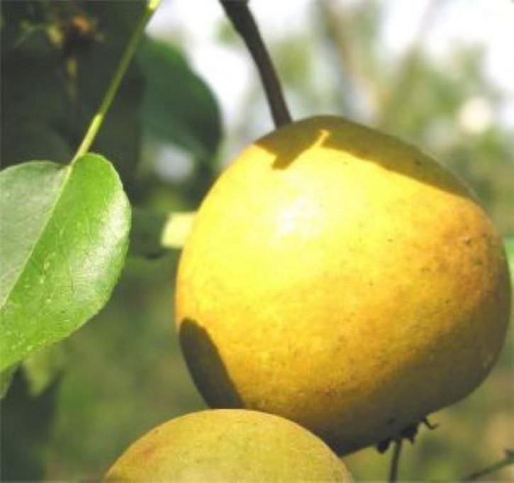 Birne Honigbirne 60-80cm - feinwürzige und grobzellige Früchte