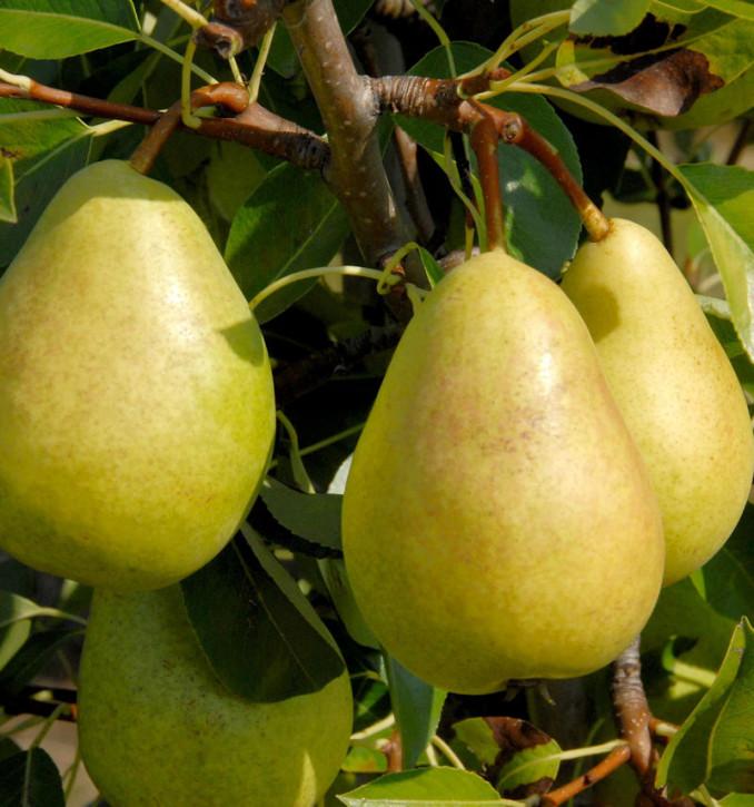 Birne Josefine von Mechelen 60-80cm - feinwürzige und grobzellige Früchte