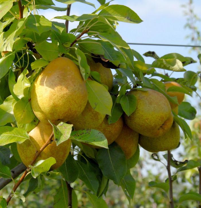 Birne Köstliche von Charneux 60-80cm - saftige und süße Früchte
