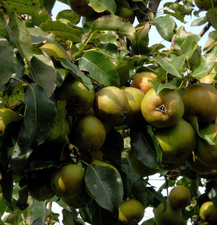 Birne Madame Verte 60-80cm - saftige und feinwürzige Früchte