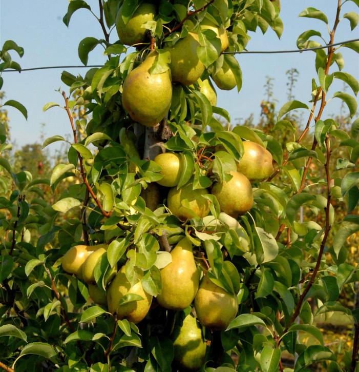 Birne Williams Christbirne 60-80cm - aromatische und feinwürzige Früchte