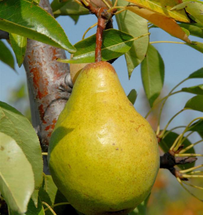 Birne Zeteler Zuckerbirne 60-80cm - saftige und süßesäuerliche Früchte