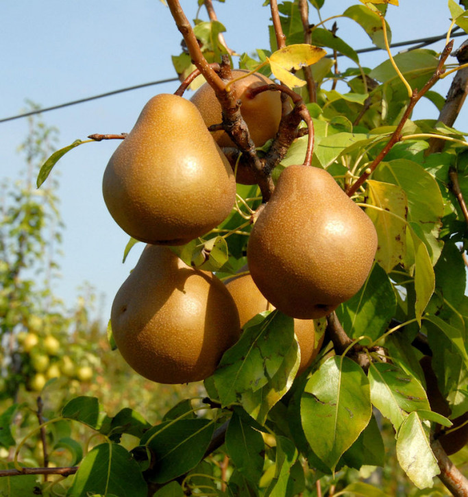 Birne Nashbirne 60-80cm - saftige und süße Früchte