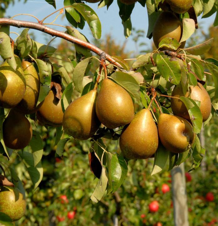 Birne Pfundbirne 60-80cm - saftige und süße Früchte
