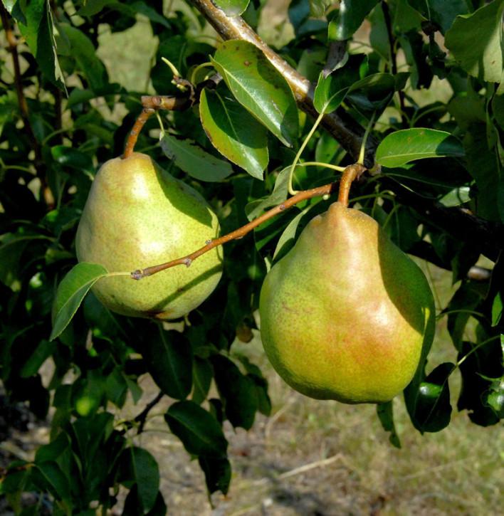 Birne Vereinsdechantbirne 60-80cm - saftige und süßesäuerliche Früchte