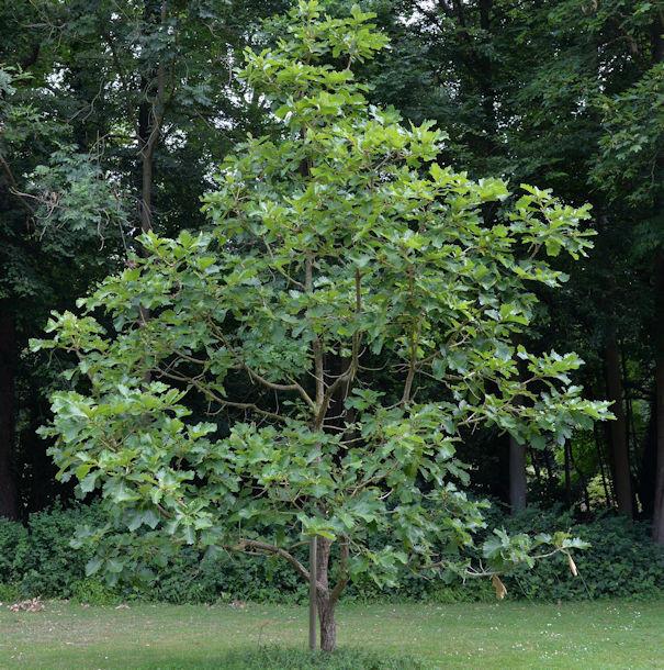 Japanische Kaisereiche Carl Ferris Miller 100-125cm - Quercus dentata