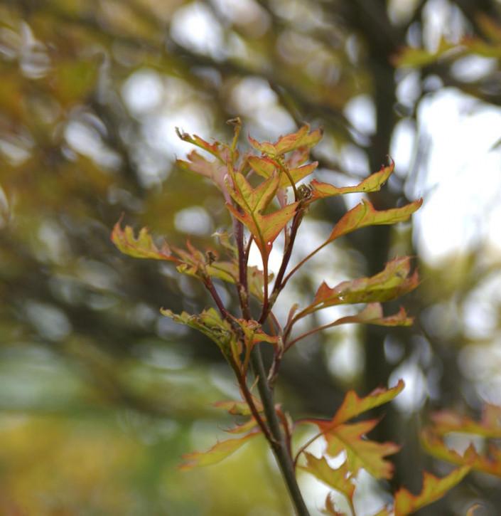 Kugel Sumpf Eiche Green Dwarf 40-60cm - Quercus palustris