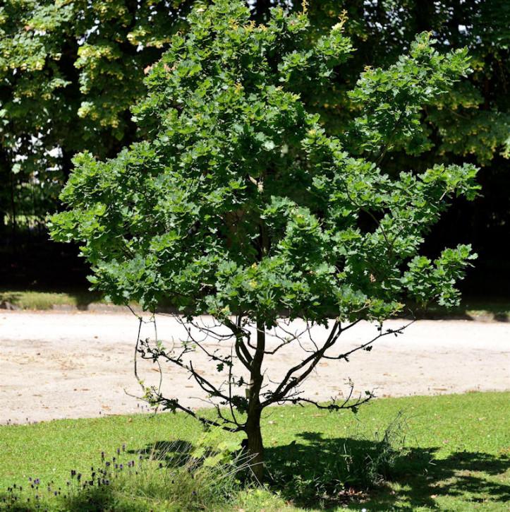 Hochstamm Kompakte Stiel Eiche 40-60cm - Quercus robur