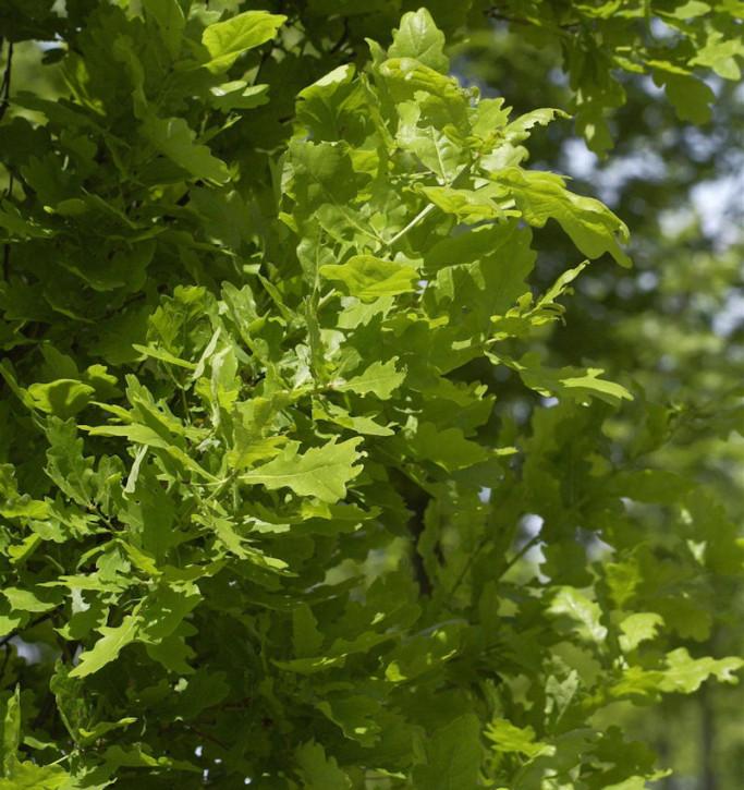 Säulen Eiche Koster 100-125cm - Quercus robur Fastigiata