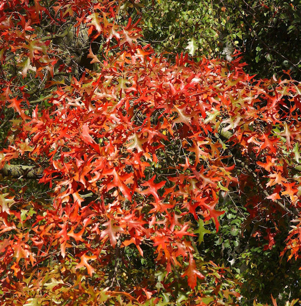 Rot Rindige Eiche Haaren 60-80cm - Quercus rubra