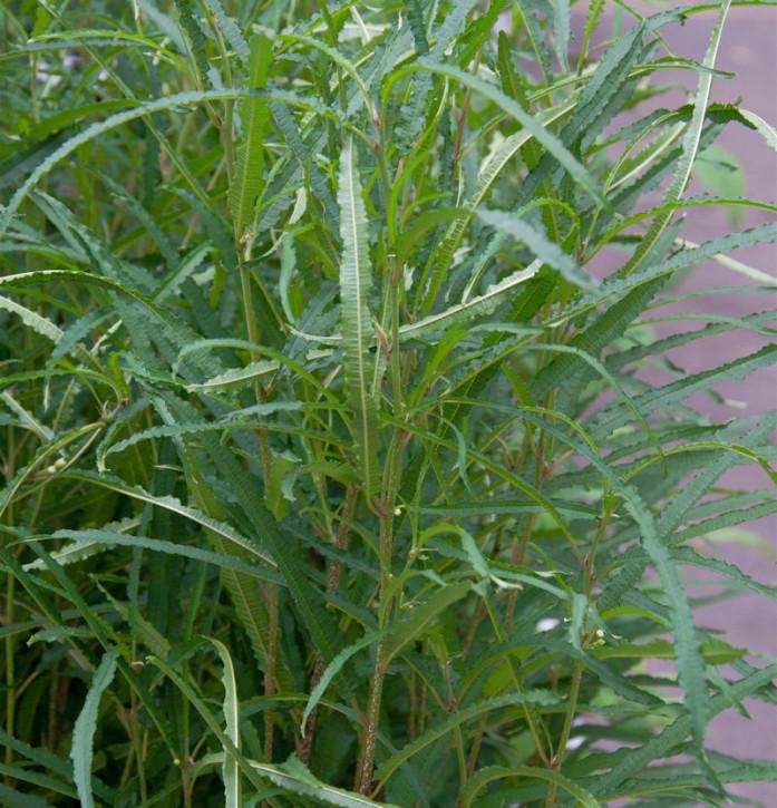 Schmalblättriger Faulbaum 80-100cm - Rhamnus frangula Asplenifolia