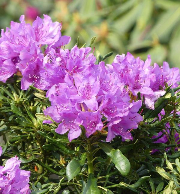 Rhododendron cheiranthifolia 30-40cm