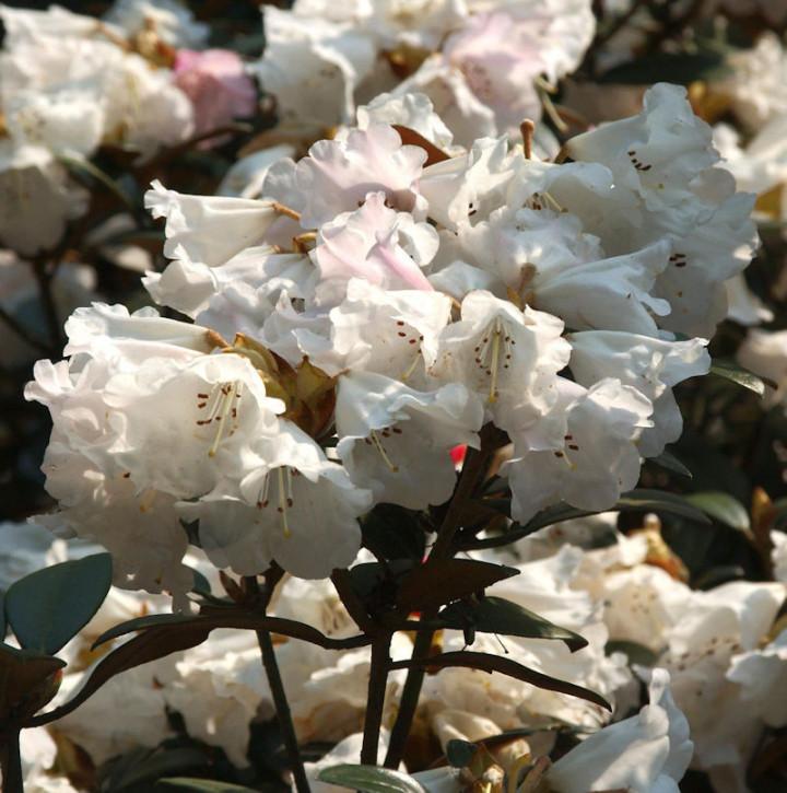 Großblumige Rhododendron Queen Bee 40-50cm - Alpenrose