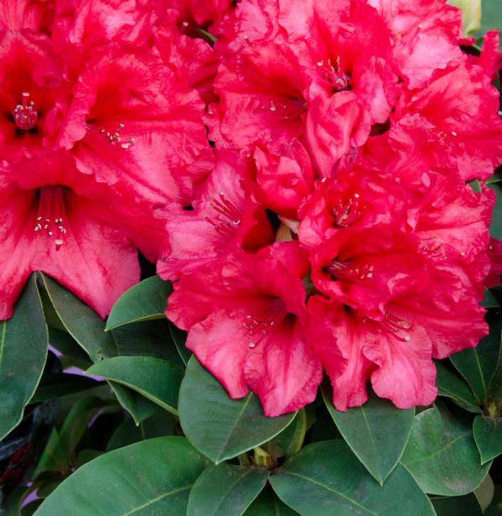 Großblumige Rhododendron Weinlese 40-50cm - Alpenrose