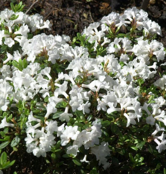 Rhododendron kotschyi myrtifolium 20-25cm
