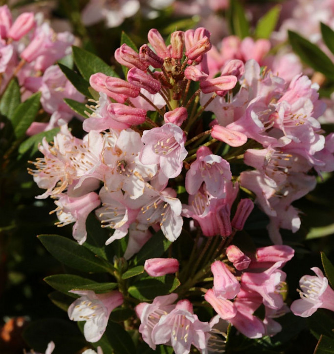 Kugelschnitt Kleinblütiger Rhododendron Bloombux® 25-30cm - Rhododendron micranthum