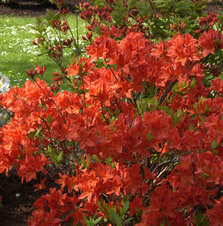 Chinesische Azalee Mollis 30-40cm - Rhododendron yakushimanum