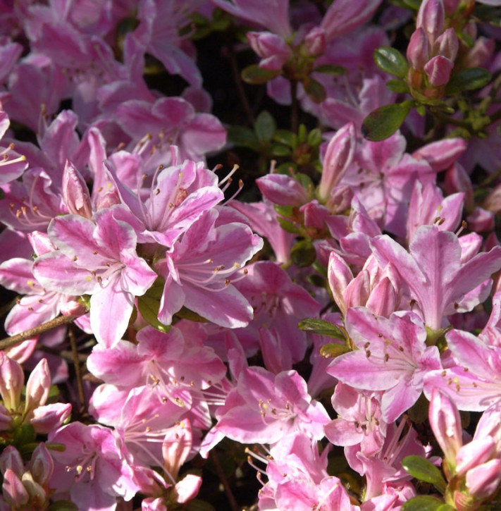 Japanische Azalee Kermesina Rose 20-25cm - Rhododendron obtusum - Alpenrose