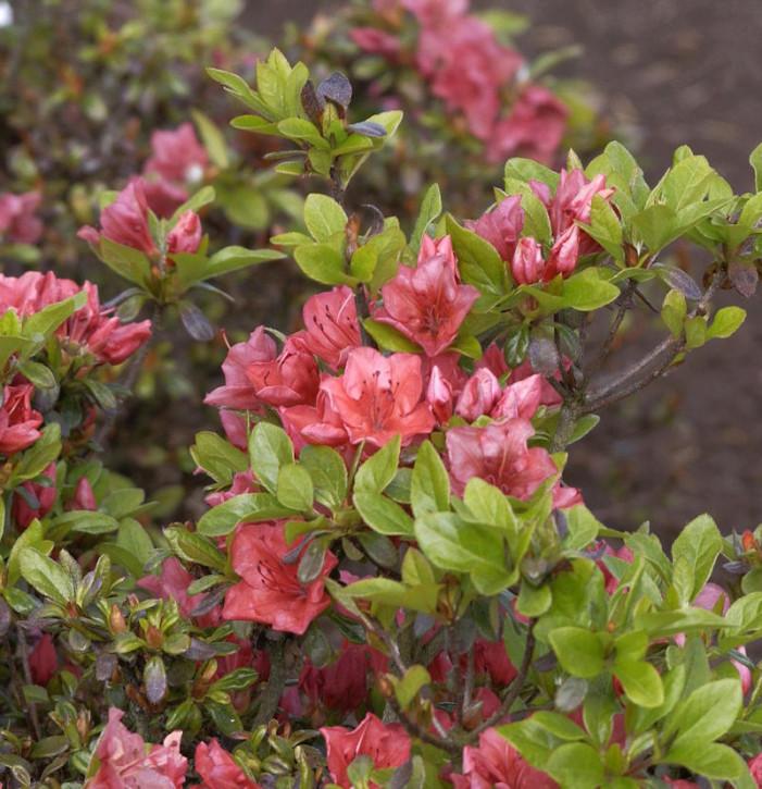 Japanische Azalee Hatsugin 15-20cm - Rhododendron obtusum - Zwerg Alpenrose