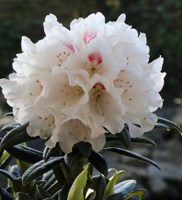 Wildart Rhododendron Blewbury 25-30cm - Rhododendron roxieanum