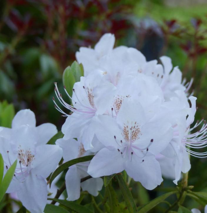 Rhododendron yunnanense 60-70cm