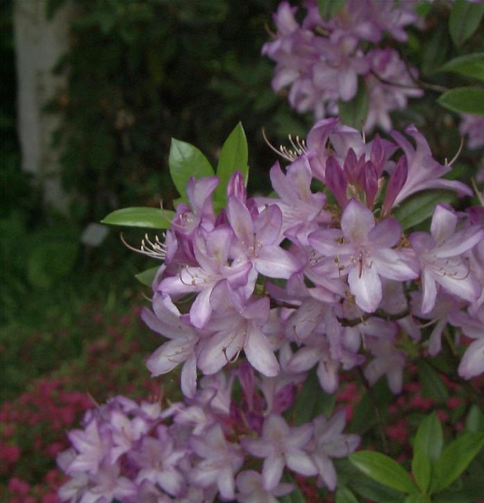 Azaleodendron Govenianum 30-40cm - Rhododendron Govenianum