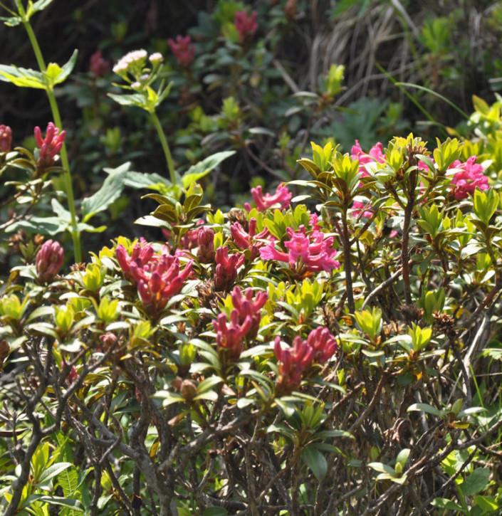 Rostblättrige Alpenrose 15-20cm - Rhododendron ferrugineum