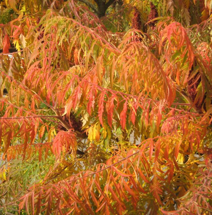 Gelber geschlitzter Essigbaum Golden Selection 60-80cm - Rhus typhina
