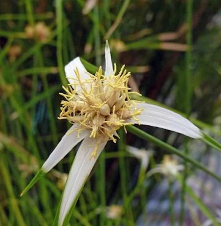 Schnabelriede Sternentänzer - großer Topf -  Rhynchospora colorata