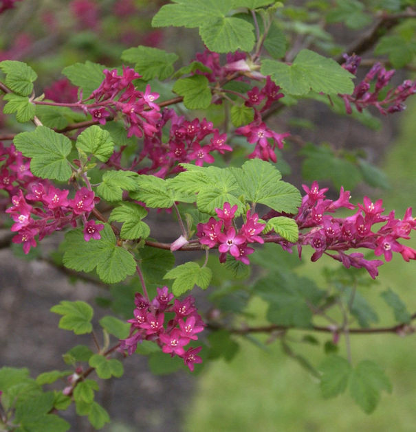 Blut Johannisbeere Pulborough Scarlet 100-125cm - Ribes sanguineum