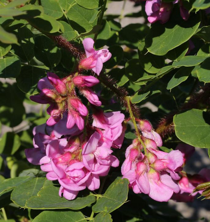 Borstenakazie Macrophylla 60-80cm - Robinia hispida