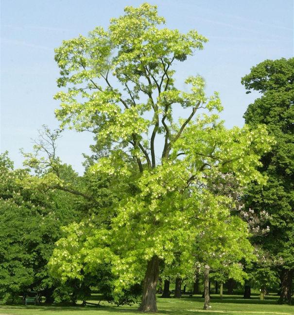 Gold Robinie 125-150cm - Robinia pseudoacacia