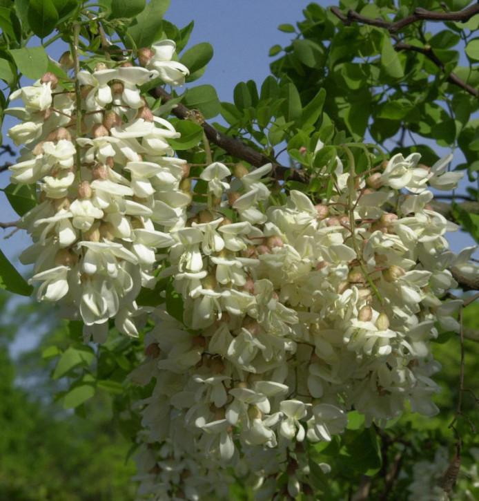 Zwerg Korkenzieher Robinie Twisty Baby 40-60cm - Robinia pseudoacacia