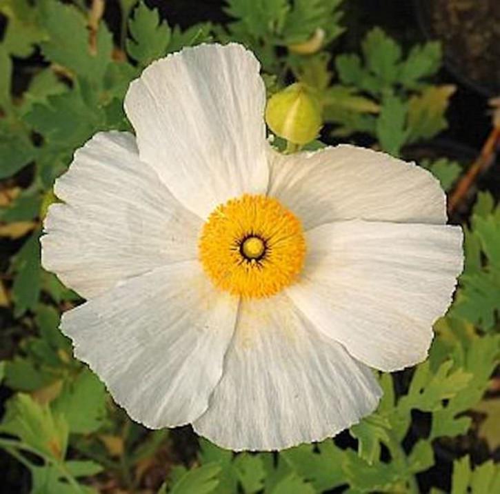 Kalifornischer Baummohn - Spiegeleipflanze - Romneya coulteri