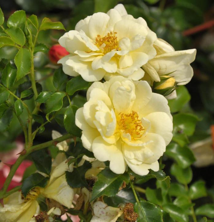 Bodendeckerrose Sunny Rose 20-30cm