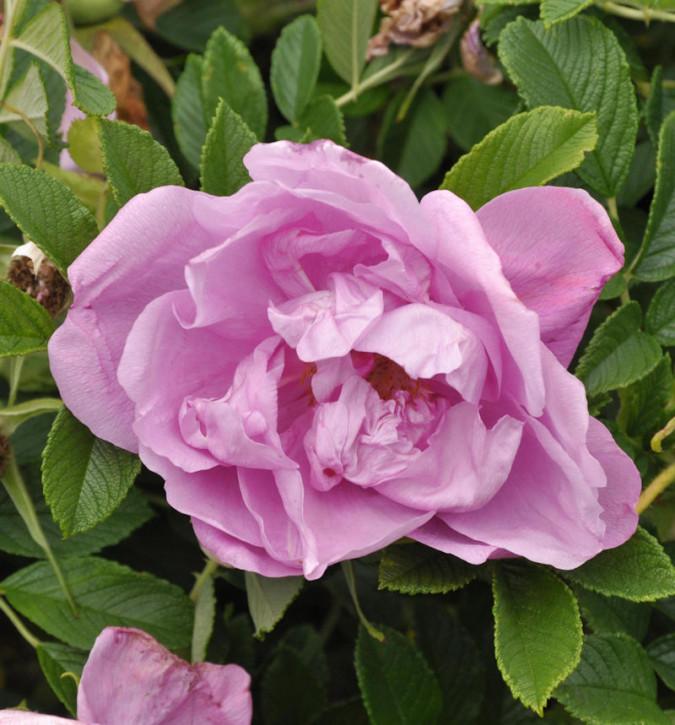 Bodendeckerrose Pink Roadrunner 20-30cm