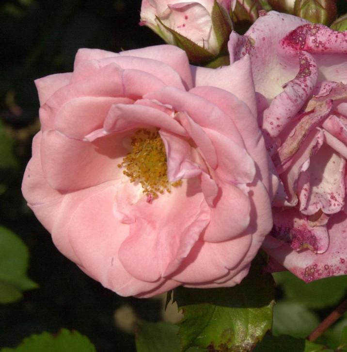 Floribundarose Rosali 30-60cm