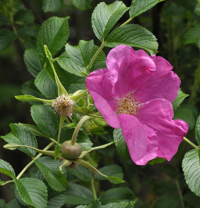 Apfelrose Angelina Elegatine® 30-40cm - Rosa rugosa