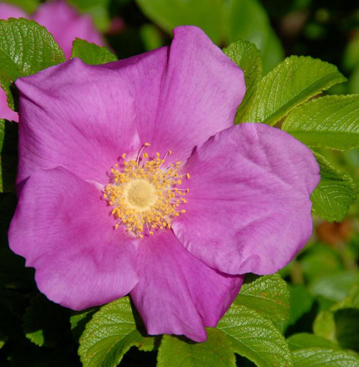 Apfelrose 30-40cm - Rosa rugosa