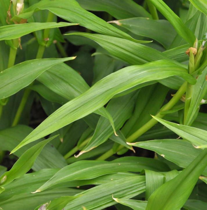 Schein Orchidee - Roscoea auriculata