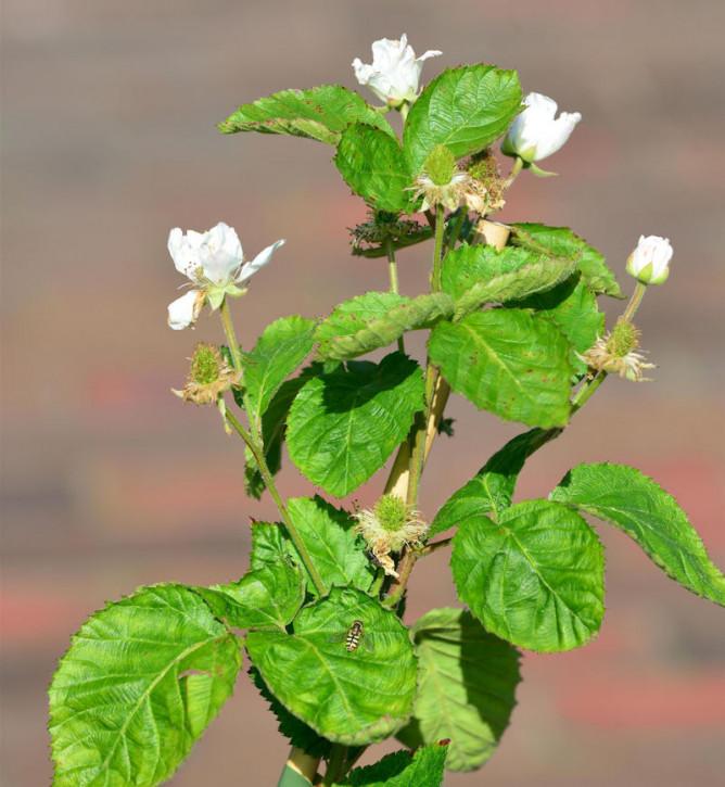 Brombeere Polar Berry® - Rubus fruticosus