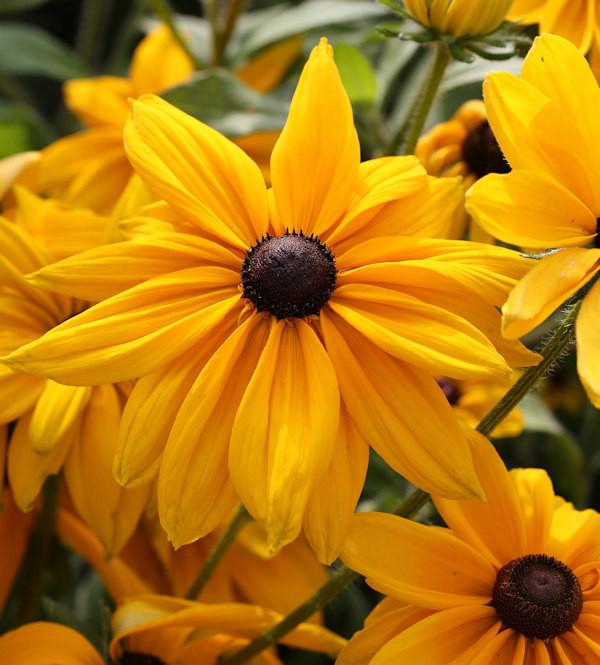 Sonnenhut Olivia - Rudbeckia
