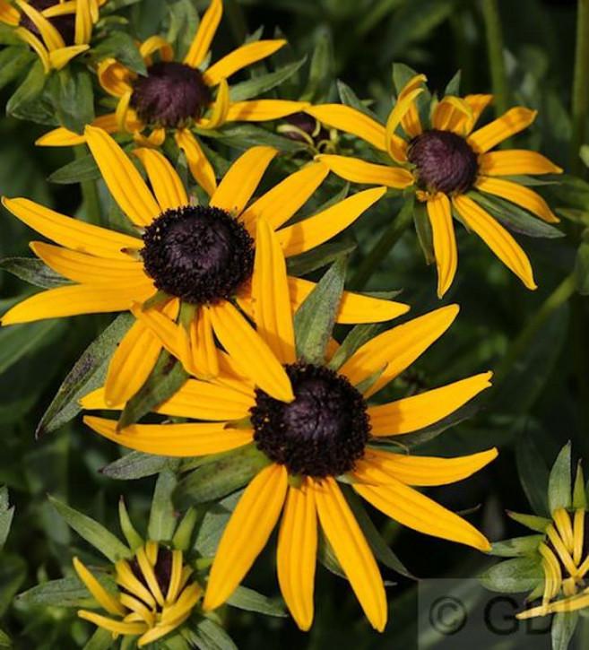 Sonnenhut Early Little Goldstar - großer Topf - Rudbeckia fulgida