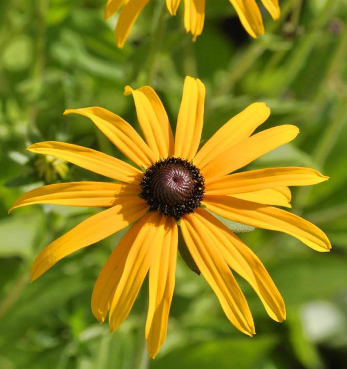 Gewöhnliche Sonnenhut - Rudbeckia fulgida